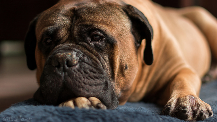 Choosing The Best Joint Supplement for a Bullmastiff – 6 Things You Must Know