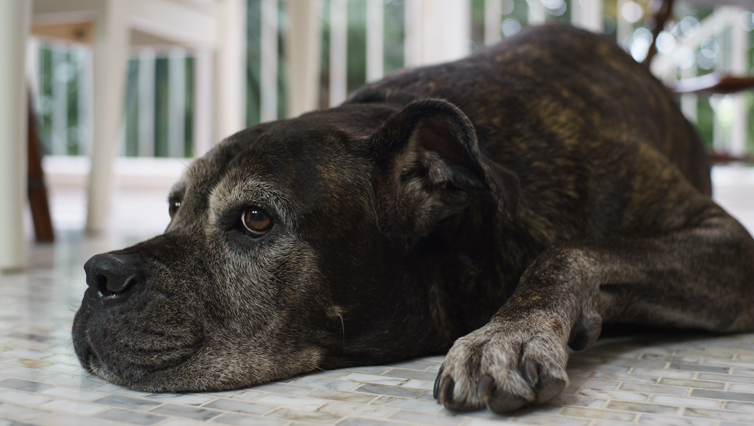 Choosing The Best Joint Supplement for a Cane Corso – 6 Things You Must Know