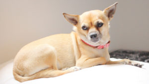 Selecting The Greatest Joint Complement for a Chihuahua – 6 Issues You Should Know