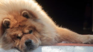 Selecting The Finest Joint Complement for a Chow Chow – 6 Issues You Should Know