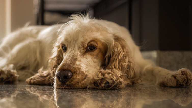 Choosing The Best Joint Supplement for a Cocker Spaniel – 6 Things You Must Know