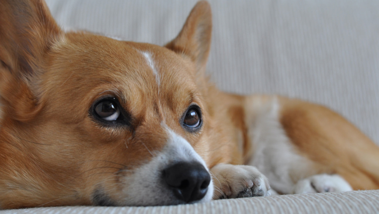 Choosing The Best Joint Supplement for a Corgi – 6 Things You Must Know