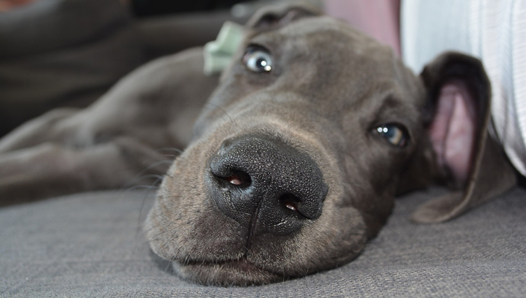Choosing The Best Joint Supplement for a Great Dane - 6 Things You Must Know