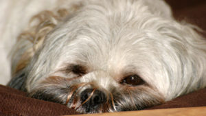 Selecting The Finest Joint Complement for a Lhasa Apso