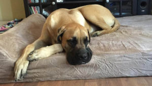 Selecting The Greatest Joint Complement for a Mastiff – 6 Issues You Should Know