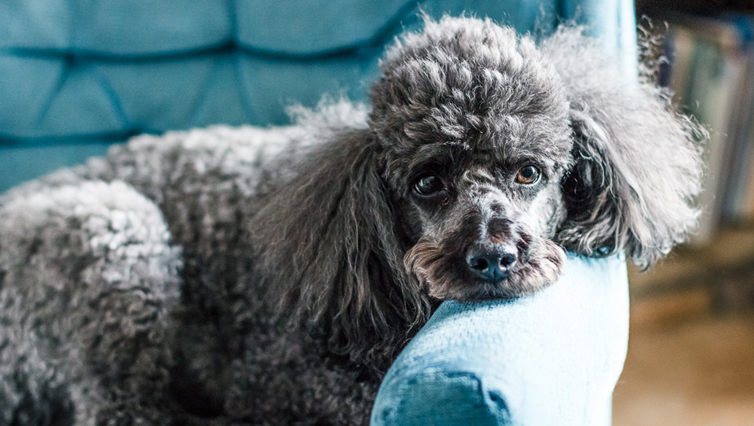Choosing The Best Joint Supplement for a Poodle – 6 Things You Must Know