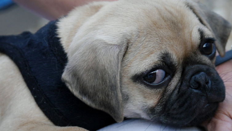 5 Signs Your Dog Is In Pain Iheartdogs Com