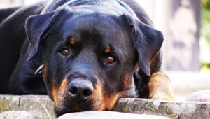 Selecting The Greatest Joint Complement for a Rottweiler – 6 Issues You Should Know