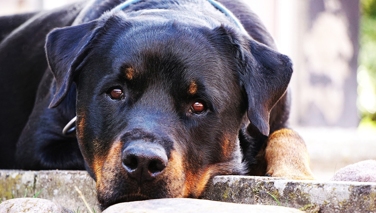 Choosing The Best Joint Supplement for a Rottweiler - 6 Things You Must Know
