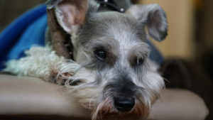 Selecting The Finest Joint Complement for a Schnauzer – 6 Issues You Should Know