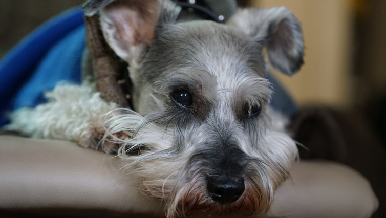 Choosing The Best Joint Supplement for a Schnauzer – 6 Things You Must Know