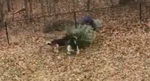 Canines Have Hilarious Response When Dad Tosses The Christmas Tree – And It Goes Viral!