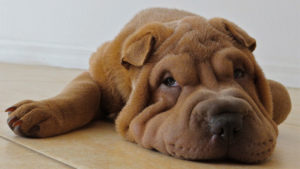 Selecting The Greatest Joint Complement for a Shar Pei – 6 Issues You Should Know