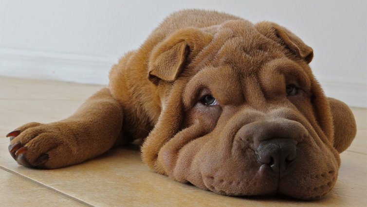 Choosing The Best Joint Supplement for a Shar Pei – 6 Things You Must Know