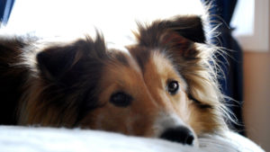 Selecting The Greatest Joint Complement for a Sheltie – 6 Issues You Should Know