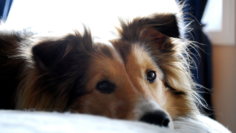 choosing the best joint supplement for a sheltie 6 things you must