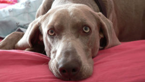 Selecting The Greatest Joint Complement for a Weimaraner – 6 Issues You Should Know