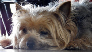 Selecting The Finest Joint Complement for a Yorkie – 6 Issues You Should Know