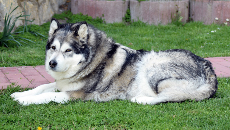 Choosing The Best Joint Supplement for a Alaskan Malamute – 6 Things You Must Know