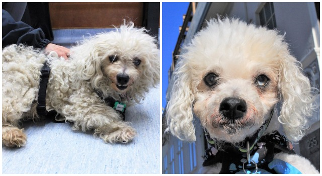 Senior Stray Dog Hadn't Been Groomed In Years, But After A Haircut, He Acts Like A Puppy Again