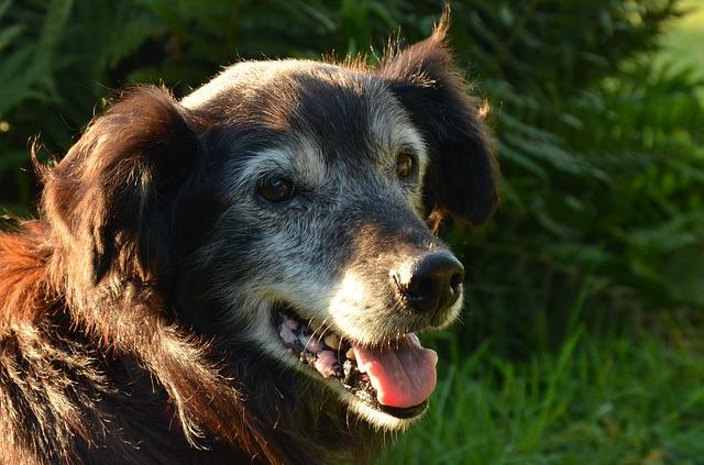 senior dog arthritis pain