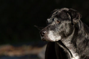 Sickly Canine Was Meant To Be A Hospice Foster, However She Wasn't Prepared To Give Up But