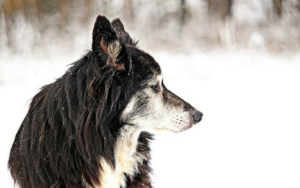 10 Indicators Your Canine Could Be Prepared To Cross The Rainbow Bridge