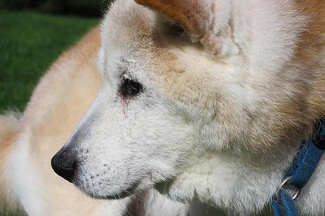senior dog with aching joints