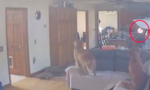 Canine Jumps On Range To Get Pancakes On Counter, Practically Units Home On Hearth