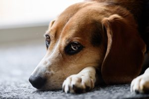 Is Your Pup Liable to Ear Infections? Strive Including These 2 Easy Day by day Routines