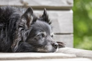 5 Indicators Of Dementia In Canines & How You Can Assist