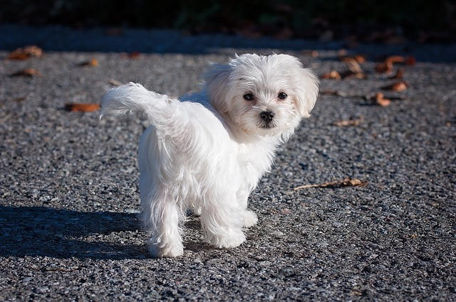 Bred To Be Companions This Hypoallergenic Dog Is Energetic And Playful They Do Well In Small Es Like Apartments Have A Bright White