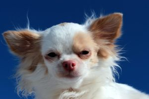 """Why Do Some Small Canines Have """"Napoleon Syndrome""""?"""
