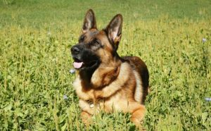 10 Canine Breeds That Purpose To Please Their People