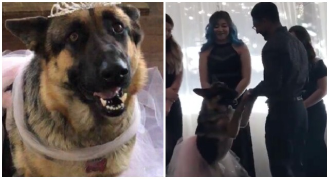Dog Enjoys A Father-Daughter Dance At Her Very Own Quinceanera