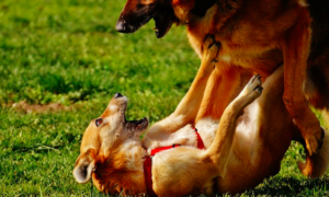 How To Assist Your Pup Really feel Protected Round Different Canines After Being Attacked