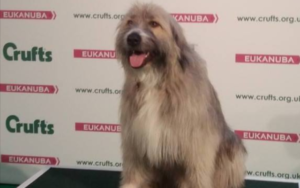 Rescue Canine Hilariously Invents His Personal Agility Routine At Crufts Canine Present
