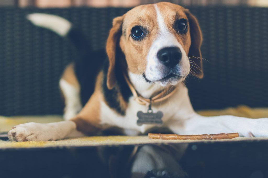 Beagle feeling jealous