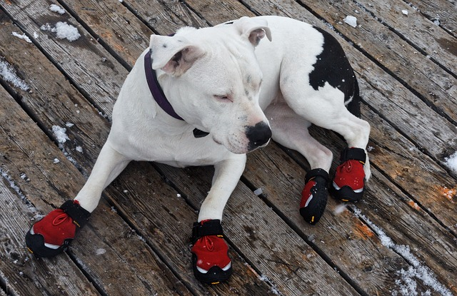 Pit Bull wearing boots