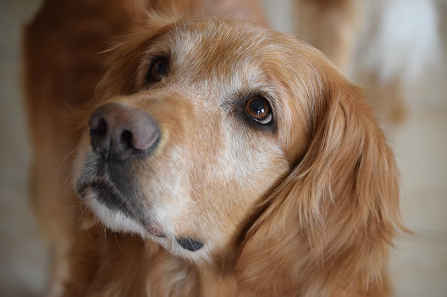 3,000 Golden Retrievers Are Paving The Way For Cancer Research