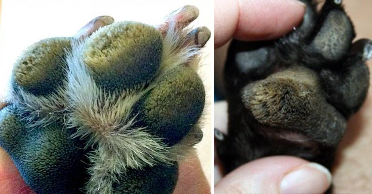 dog paw pad peeling off