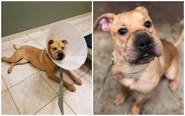 Horribly Abused Pit Bull Puppy Is Recovering And Awaiting Forever Home