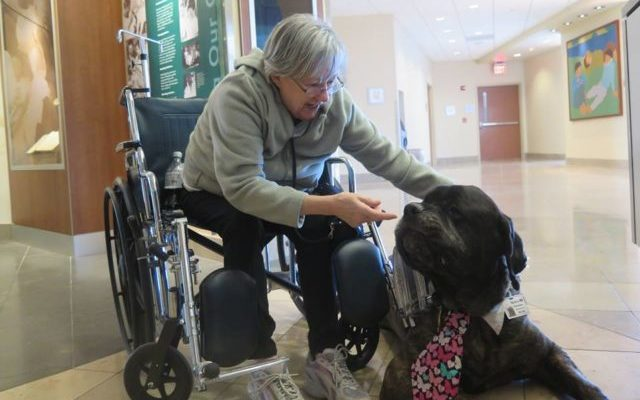Massive Therapy Dog Wears A Stethoscope & Tie To See His
