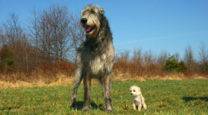 Eight Of The Largest Canine Breeds