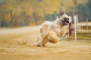 The 10 Least Obedient Canine Breeds