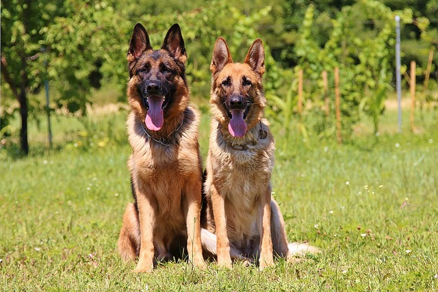 German Shepherds Guard Dogs