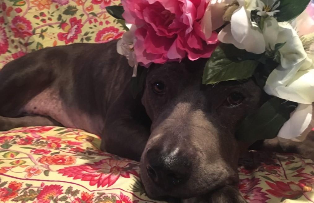 Senior Shelter Pit Bull Waits For Fairytale Ending