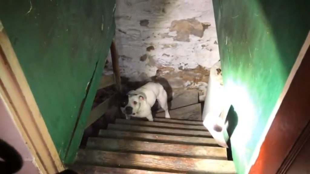 Sweet Chained Pit Bull Saved From Horrific Life In Basement