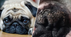 6 Pure Substances To Soothe Your Pug's Dry & Cracked Nostril