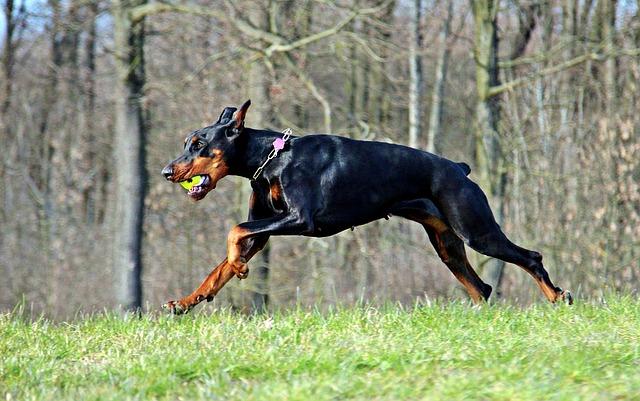 Doberman Playing Fetch